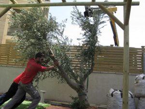 שתילת עץ זית בוגר