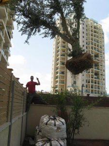 הכנסת עצים בוגרים לגינה בעזרת מנוף